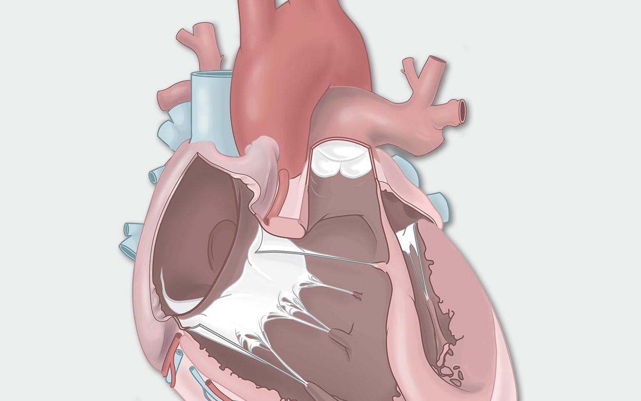 Detailansicht der Anatomie des menschlichen Herzens