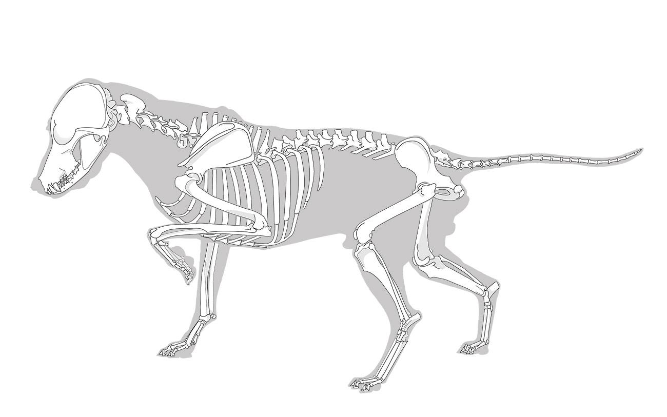 Gesamte Vektorillustration des Skelett des Hundes