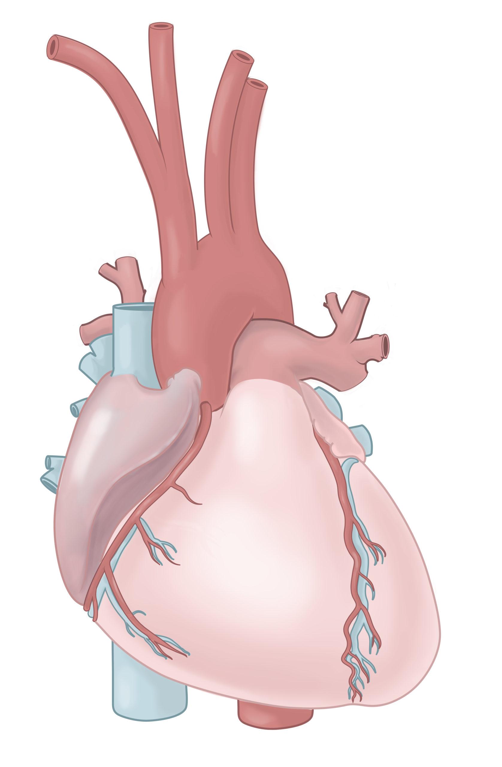 Illustration der anterioren Ansicht des Herzens, Anatomie des Herzens