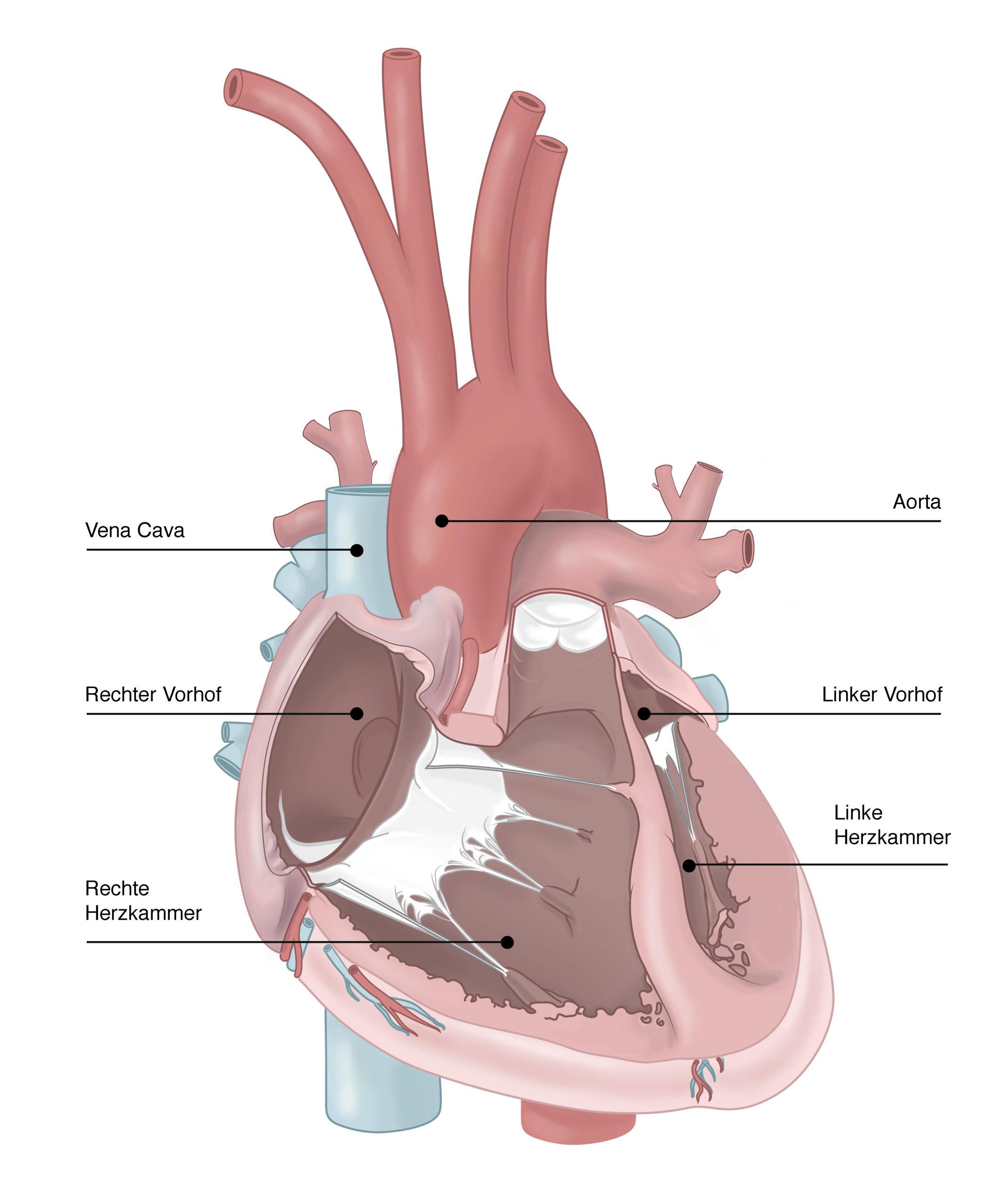 In dieser medizinischen Illustration zur anatomie des Herzens wurde ein mittiger Querschnitt durch das Herz gezogen. Die zwei Vorhöfe und die Herzkammern werden dargestellt.
