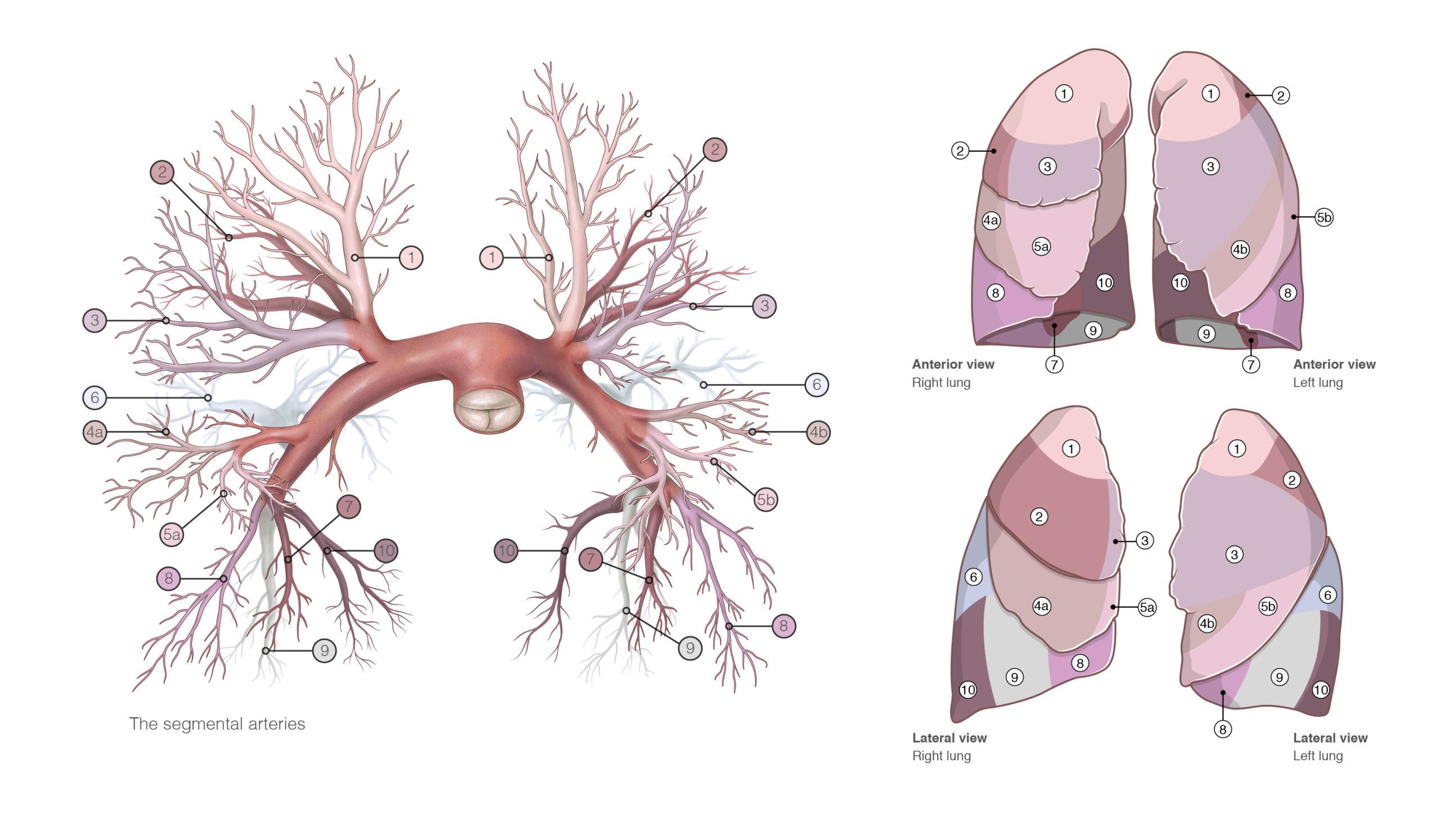 Die Infografik zeigt den Zusammenhang der Pulmonalarterien und der entsprechenden Lungensegmente.