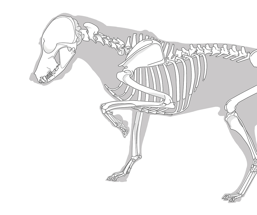 Vektorzeichnung eines Hundeskelettes