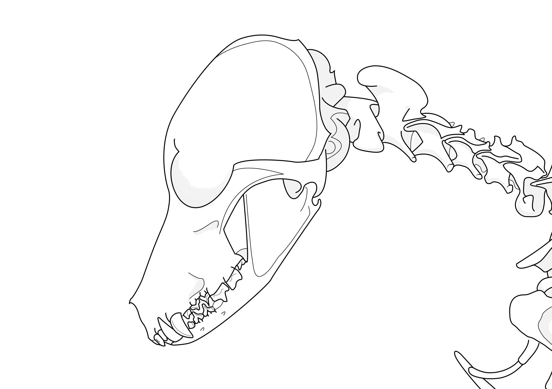 Vektorillustration des Schädels und der Halswirbelsäule eines Hundes.