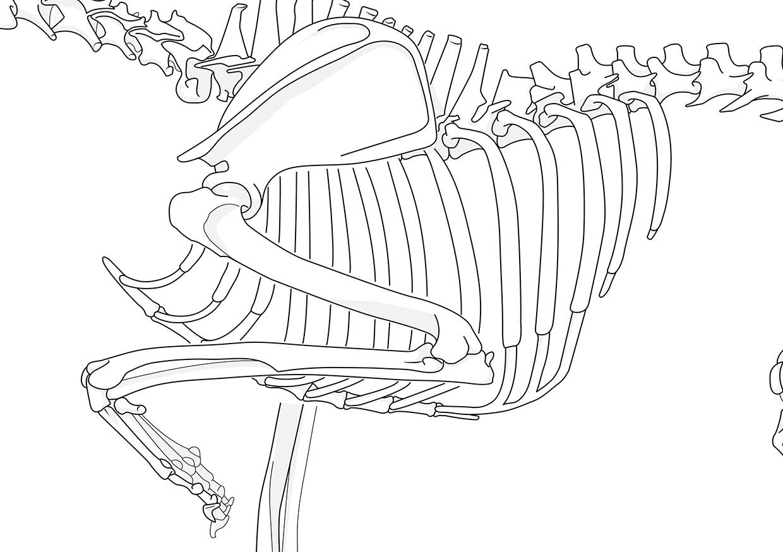 Vektorillustration des Brustkorbs, Schulterblatts, der Wirbelsäule und des linke Beins eines Hundes.