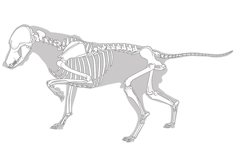 Medizinische Illustration: Vektorillustration eines Hundeskelettes