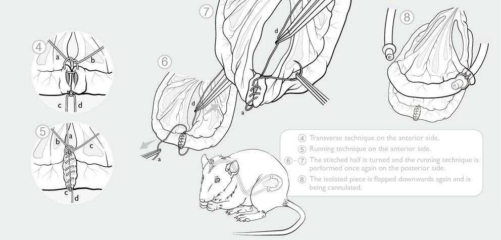 Beispiel aus dem Portfolio: Mikrochirurgischer Eingriff zur Isolation eines Stück Darms bei einer Ratte, medizinische Illustration als Infografik